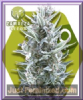 Zambeza Blueberry Female 5 Marijuana Seeds